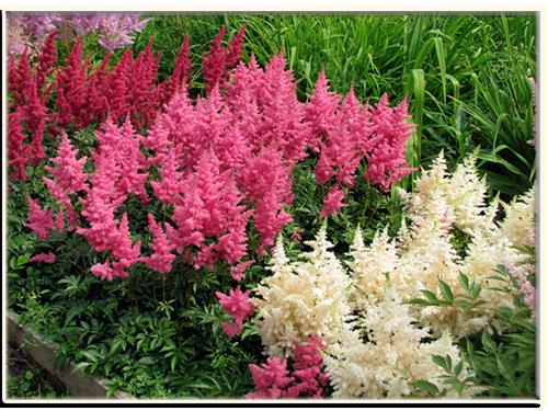 Астильба арендса: посадка, уход и размножение растения