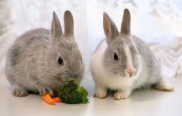 «байкокс» для кроликов: инструкция по применению, состав, описание, цены