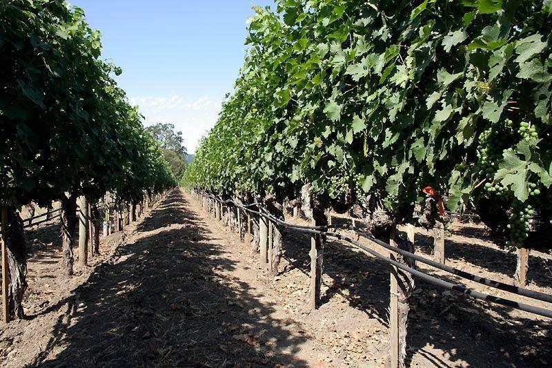 Правила полива винограда летом: как собрать богатый и вкусный урожай?