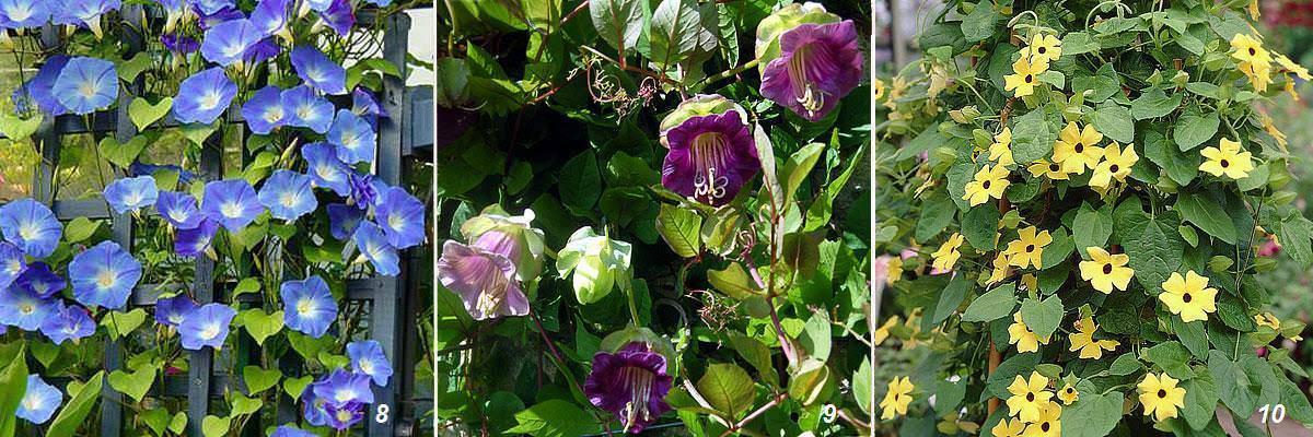 Как выглядят растения вьюны: описание многолетних вьющихся цветов для сада