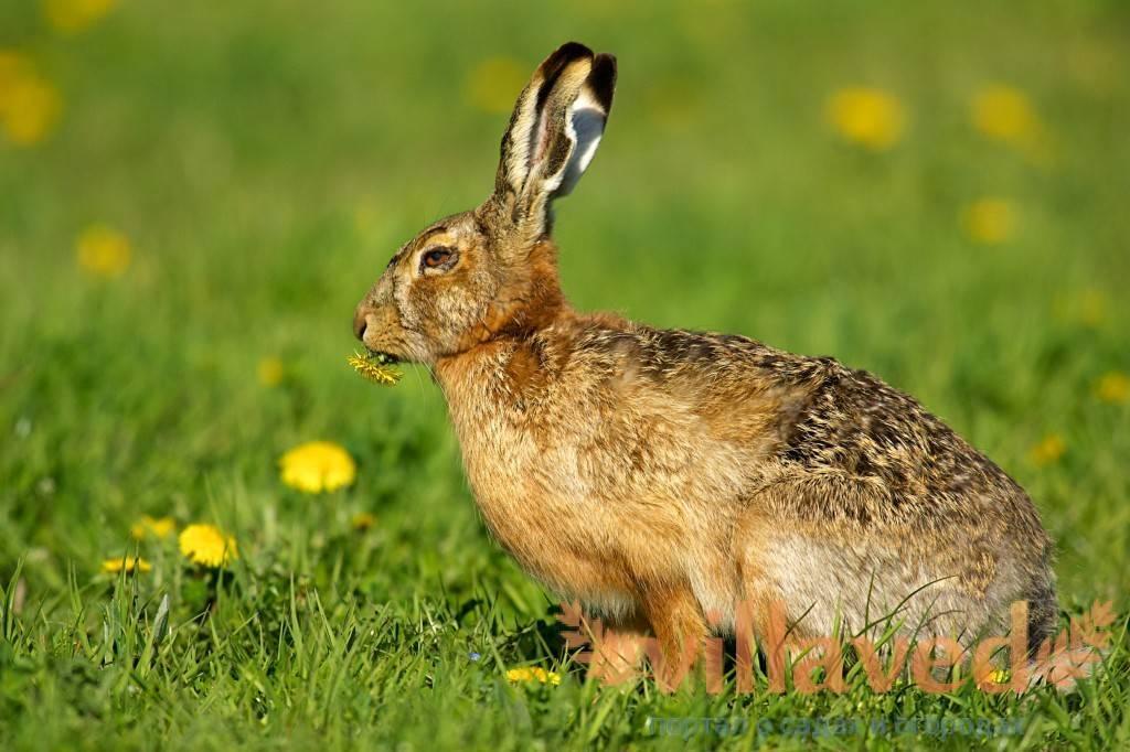Кролик линяет летом что делать. почему у кролика может выпадать шерсть? что делать