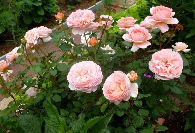 Розы-шрабы (57 фото): что это такое? новые сорта дэвида остина и анни дюпрей и их описание, уход и выращивание роз «бельведер» и «бонанза»
