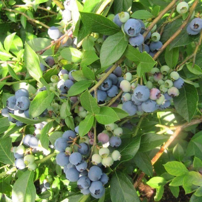 Голубика садовая: посадка, уход и размножение