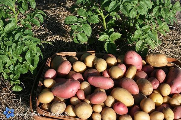 Выращивание картофеля: как удобрять по сезону, нормы внесения подкормок, вредители