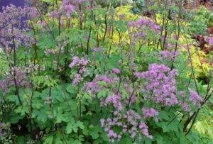 Василистник: описание растения, посадка и правильный уход