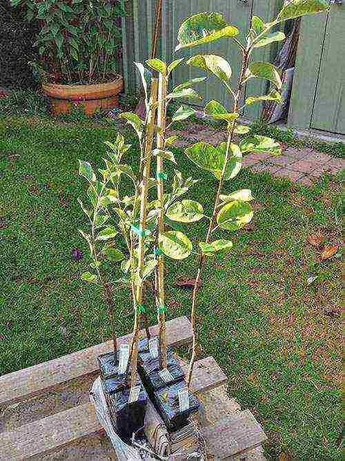 Яблоня из семечка: выращивание культуры из косточки в домашних условиях