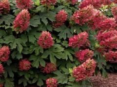 Все о гортензии дуболистной: лучшие сорта, как посадить и ухаживать