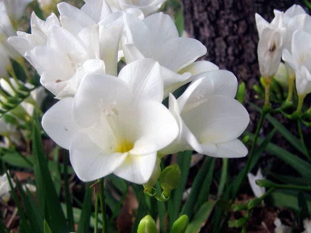 Фрезия - выращивание и уход в открытом грунте, фото | сажаем сад