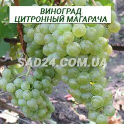 Сорт винограда цитронный магарача. описание и фото
