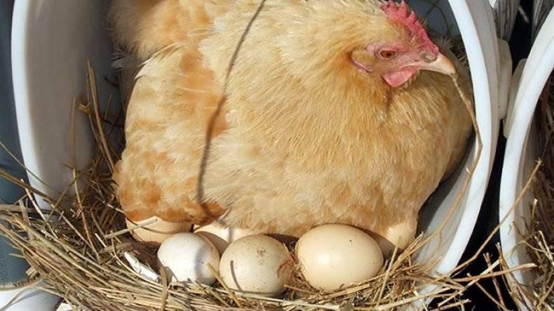 Почему куры не квохчут и не садятся на яйца