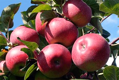 Сорт яблони «триумф»: характеристика, плюсы и минусы, агротехника выращивания - общая информация - 2020