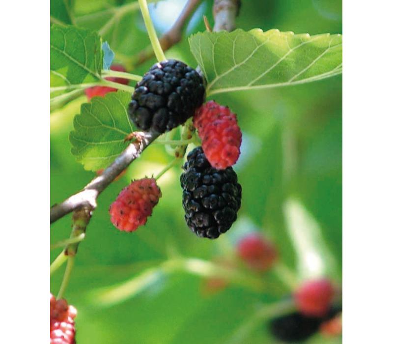 О черной шелковице: выращивание и уход в Средней полосе, отличия от белой