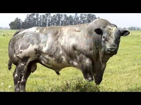 Бельгийские голубые коровы: описание и особенности породы - общая информация - 2020