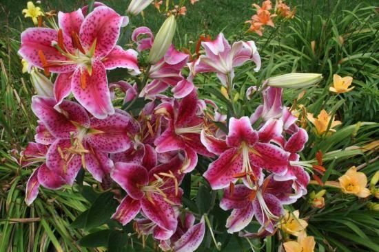 Лилейники: посадка и уход в открытом грунте, фото, что после цветения