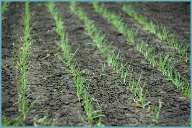 Выращивание лука через рассаду в 2020 году