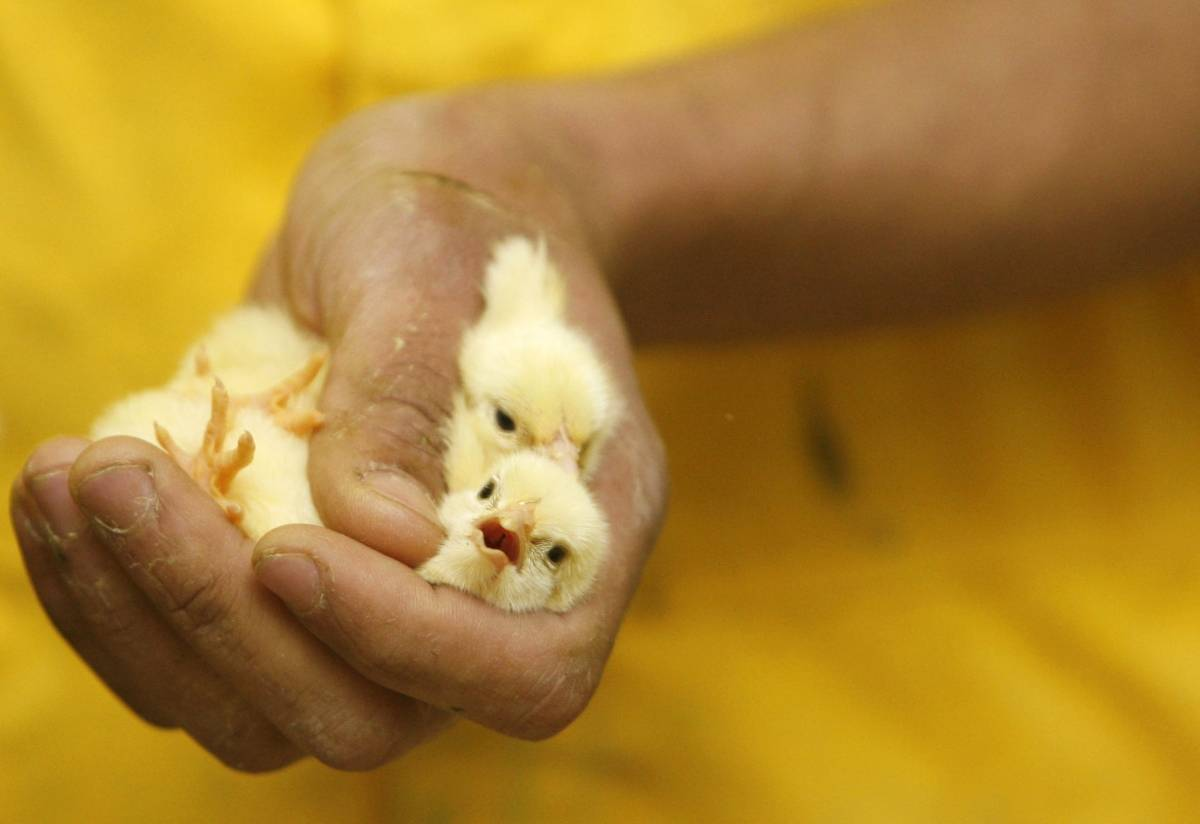 Различаем пол у кур или как не спутать петушка с курочкой