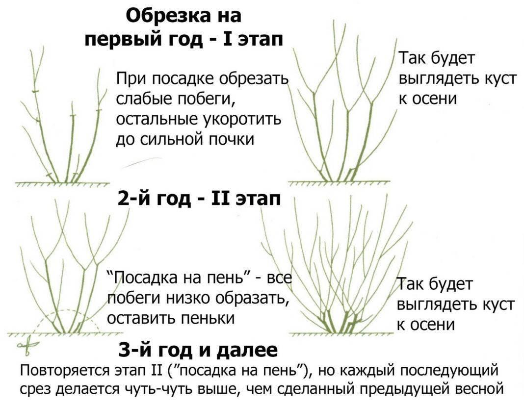Барбарис тунберга (69 фото): описание. как размножить декоративный кустарник? berberis thunbergii в ландшафтном дизайне, посадка и уход