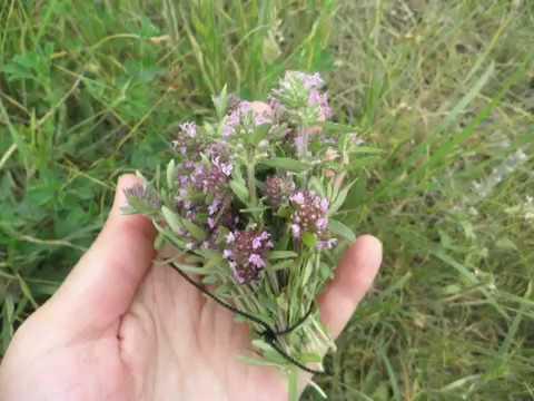 Все о сортах чабреца: как выглядит, описание растения, где растет в России