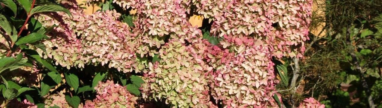 Гортензия метельчатая: описание сортов с фото, посадка и уход, размножение и обрезка