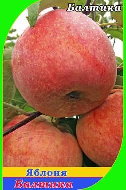О яблоне Балтика: описание сорта, характеристики, агротехника, выращивание