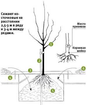 Абрикос: выращивание из косточки в домашних условиях, особенности для средней полосы и сибири | (фото & видео) +отзывы
