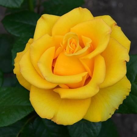 Чем привлекает чайно-гибридная роза керио садоводов: отзывы и фото