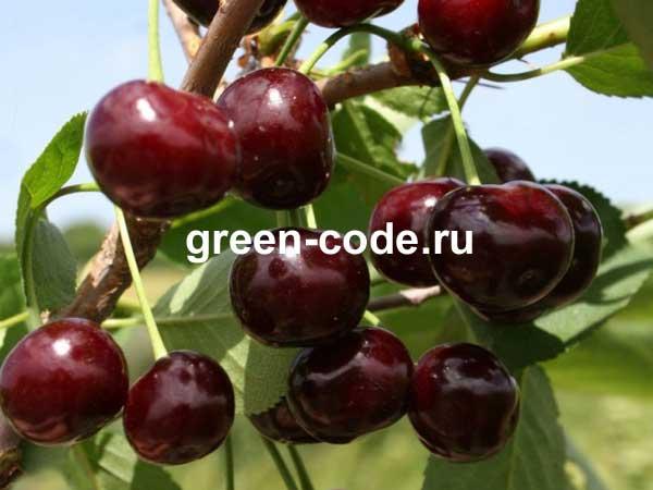 Крупные плоды и невероятный вкус — вишня сорта маяк