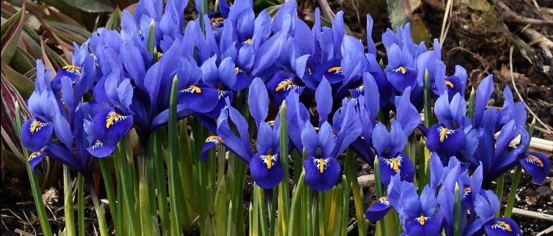 Цветок ирис посадка и уход в открытом грунте, описание и виды, сибирские и бородатые ирисы, фото «петушков»