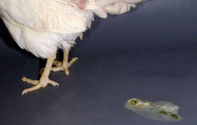 Понос у курицы — чем быстро лечить в домашних условиях