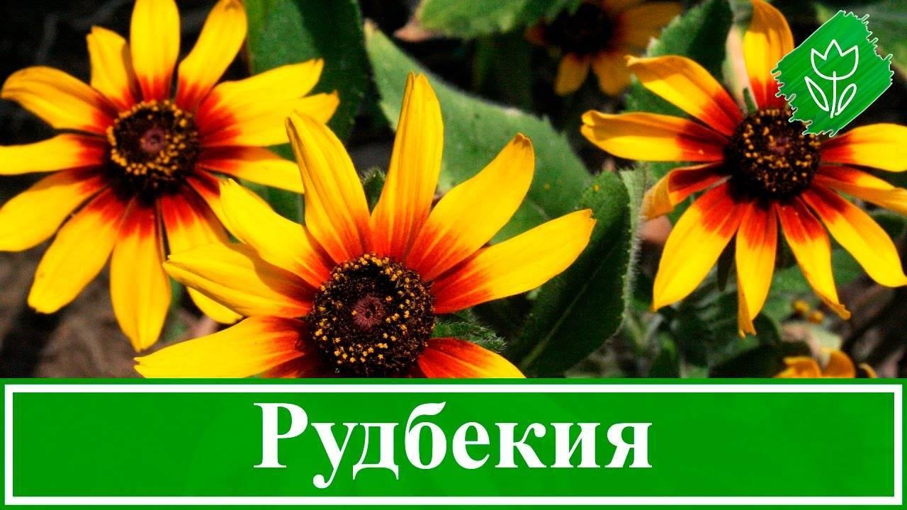 Рудбекия многолетняя: сорта, фото. выращивание и размножение рудбекии