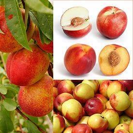 О нектарине, это гибрид персика и чего: описание и характеристика