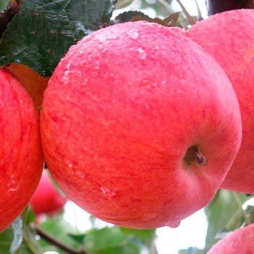 Особенности посадки и ухода за яблоней сорта фуджи
