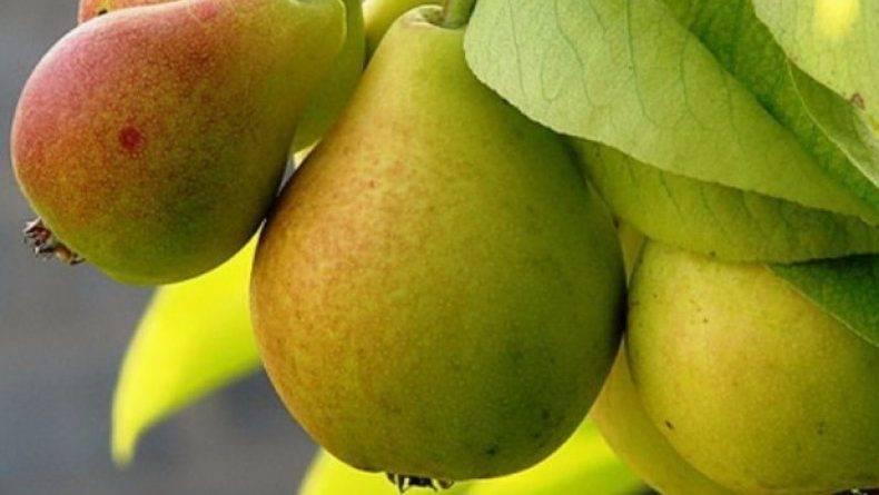 Описание и характеристики груши сорта северянка, виды и правила выращивания