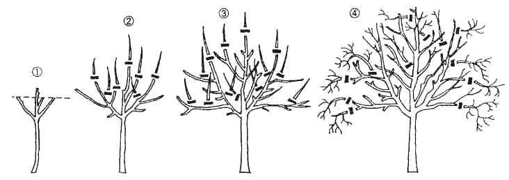 Как правильно обрезать деревья – суть обрезки и правила проведения