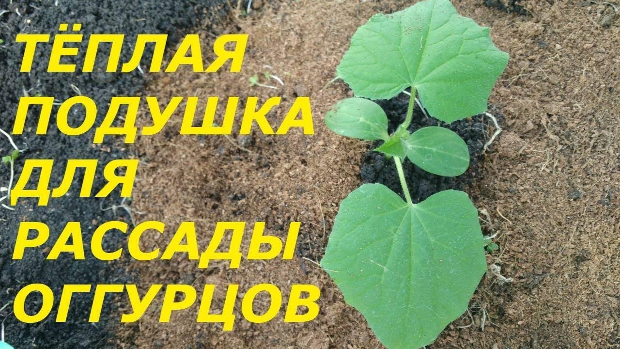Посадить огурцы в грунт