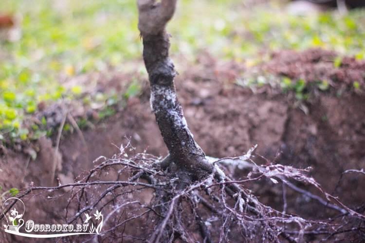 Посадка вишни весной в разных климатических зонах: советы для начинающих