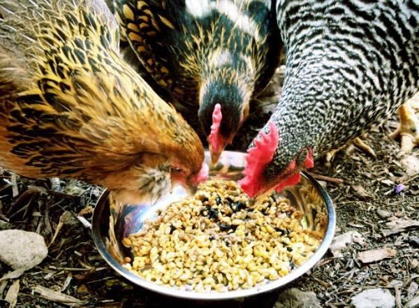 О курах: чем кормить, как правильно, что едят несушки и сколько раз в день