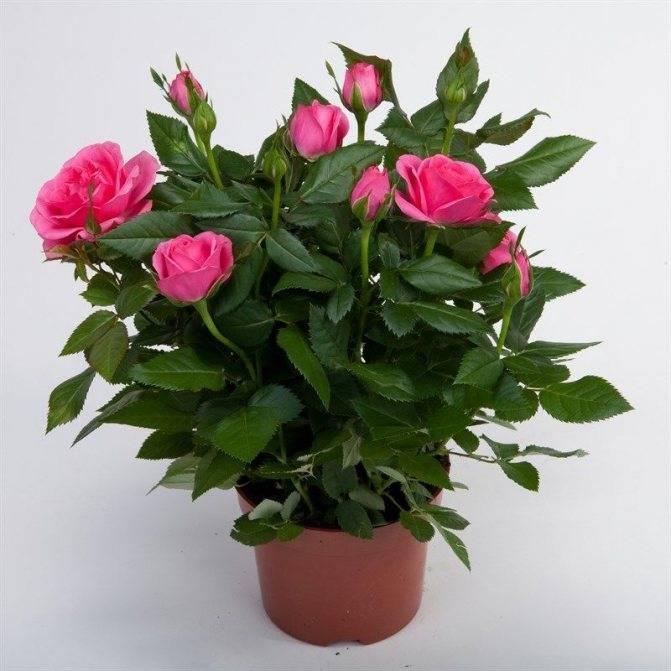 Уход за розой кордана микс дома и в саду