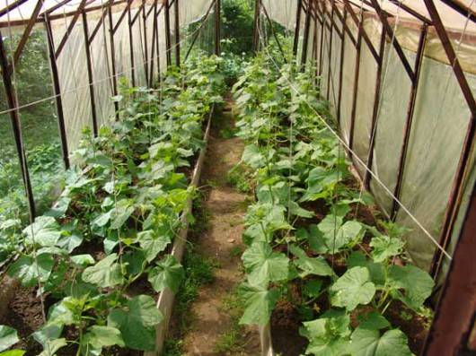 Как посеять огурцы на рассаду: пошаговый мастер-класс