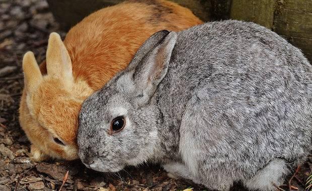 Кокцидиоз у кроликов и цыплят: симптомы и лечение