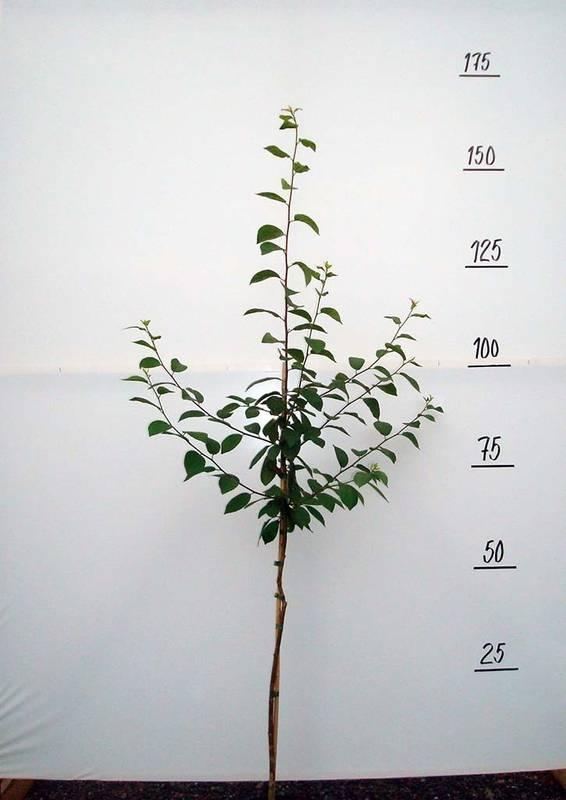Выращивание сливы этюд