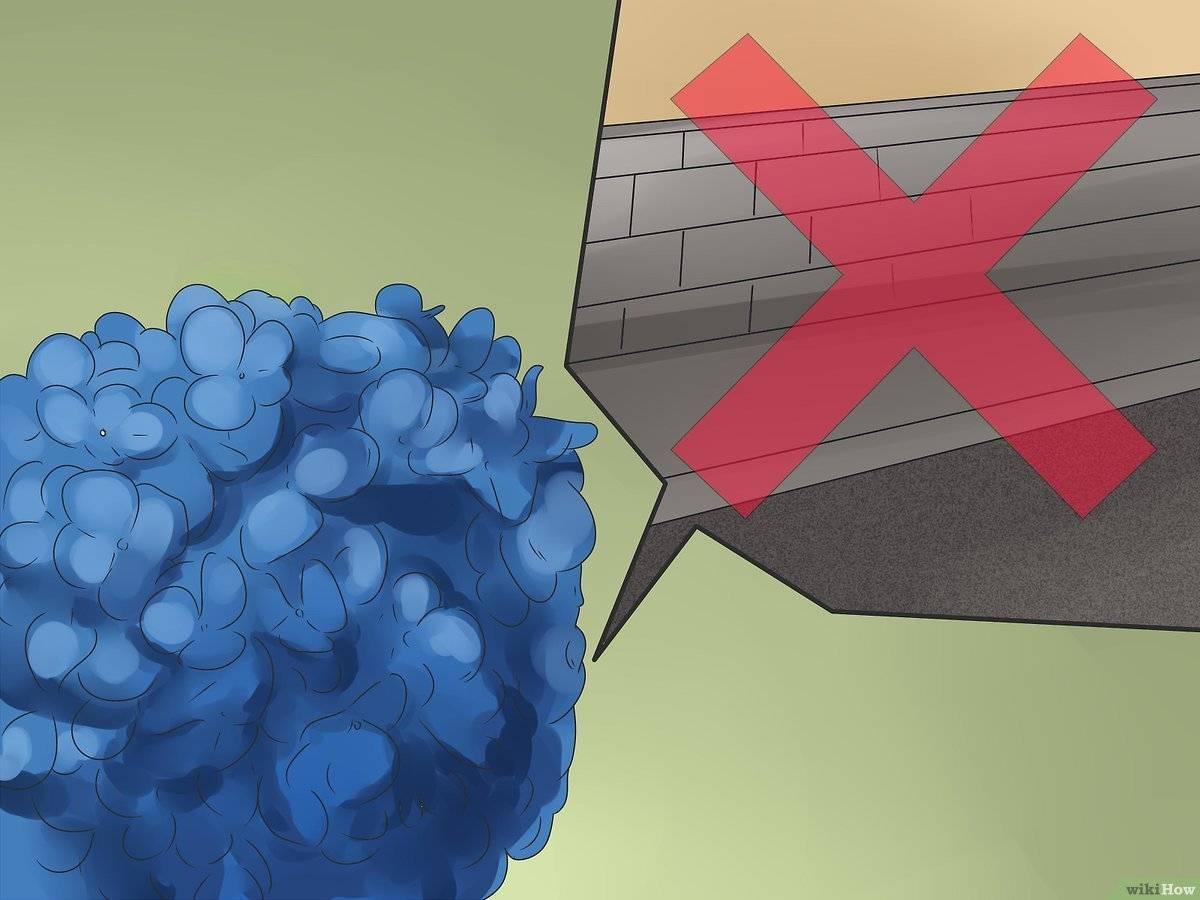 Почему гортензия меняет цвет, и как этого избежать