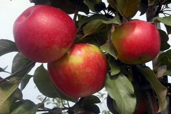 Характеристика яблони сорта конфетное и агротехника выращивания