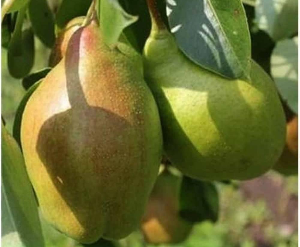 Описание сорта груши бере арданпон