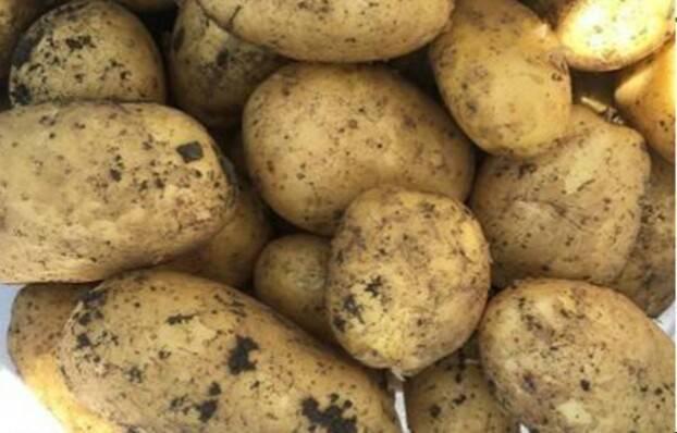 Лучшие сорта картофеля для средней полосы: особенности выращивания и ухода