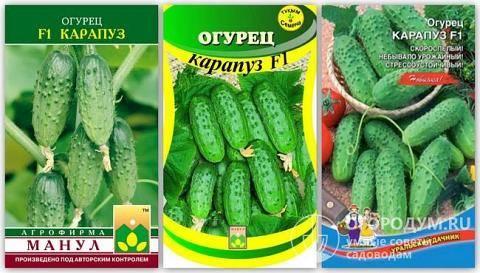 Огурцы «спино f1»: достоинство гибрида и технология выращивания
