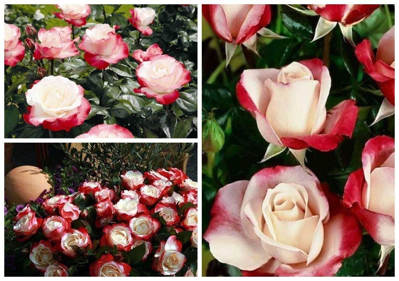 Как вырастить розу ностальжи - общая информация - 2020