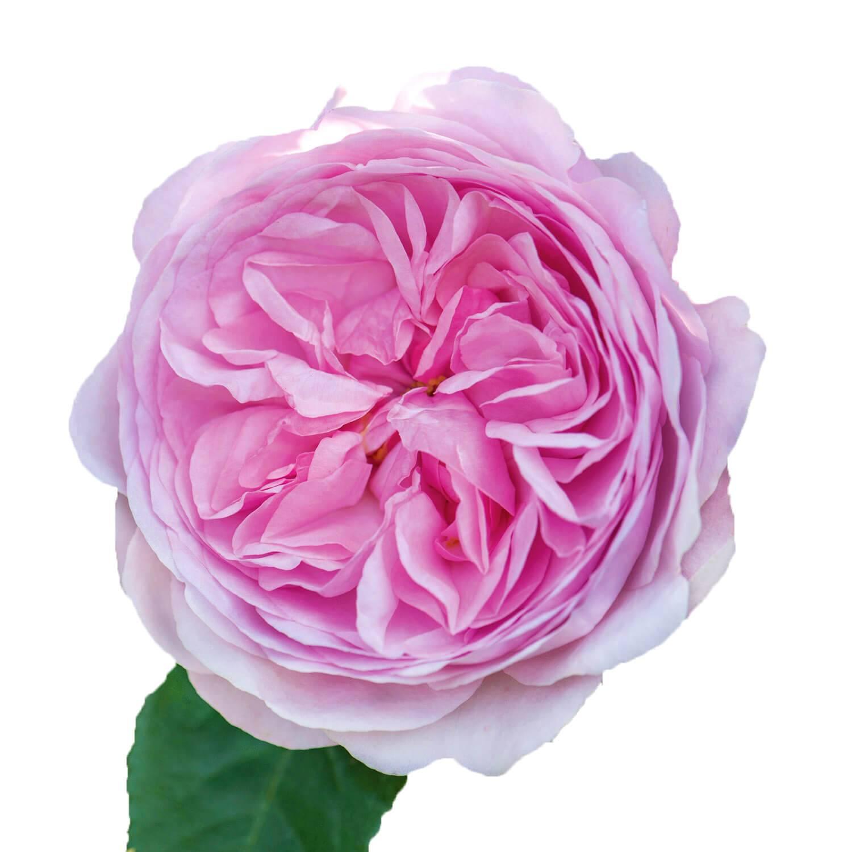 Роза алнвик роуз