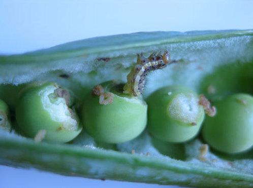 Вредители гороха и меры борьбы с ними (чем обработать горох от болезней и вредителей)