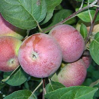 Описание и характеристика сорта яблони лобо